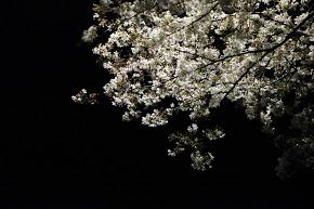 山に近いエリアではまだ桜が美しく残っていた。