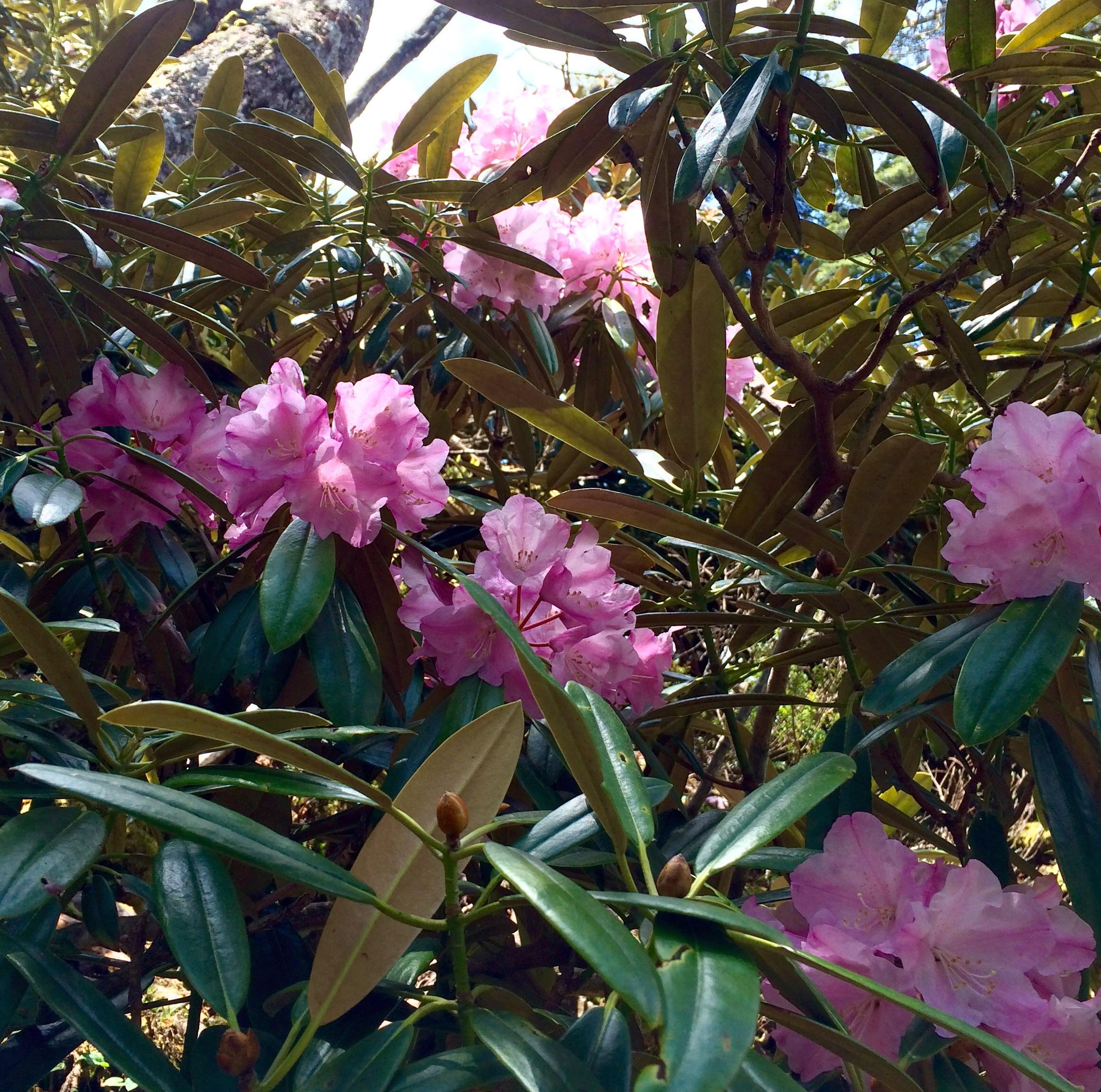 この季節は写真のシャクナゲや山ツツジが美しく咲く