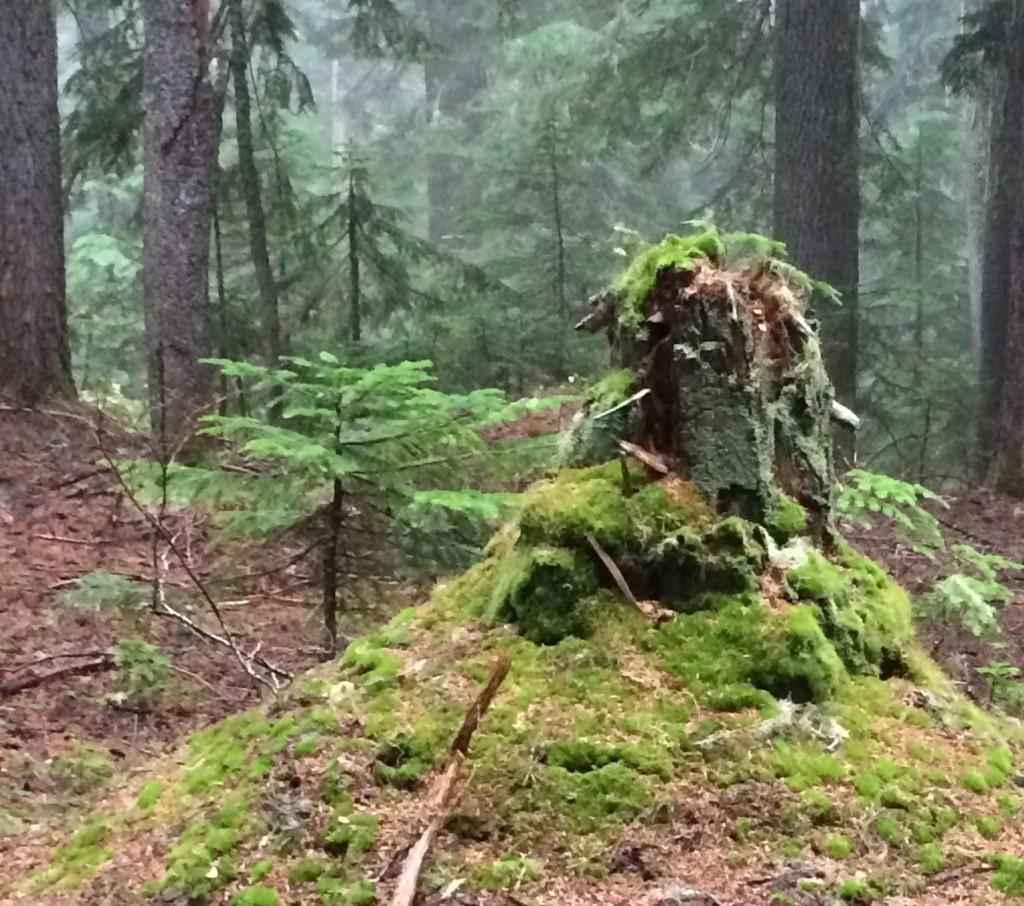 火山から離れるにつれ、シダーウッドの原生林が深くなる。日本の場合、杉林のほとんどは戦後の木材需要をにらんだ人工林だ。ここパシフィックノースウエストのシダーのほとんどは原生林で1つ1つの幹が大きい。そしてその役割を終えて、土に帰っていく姿も、何十年と言う長いスパンで静かに進行していく。