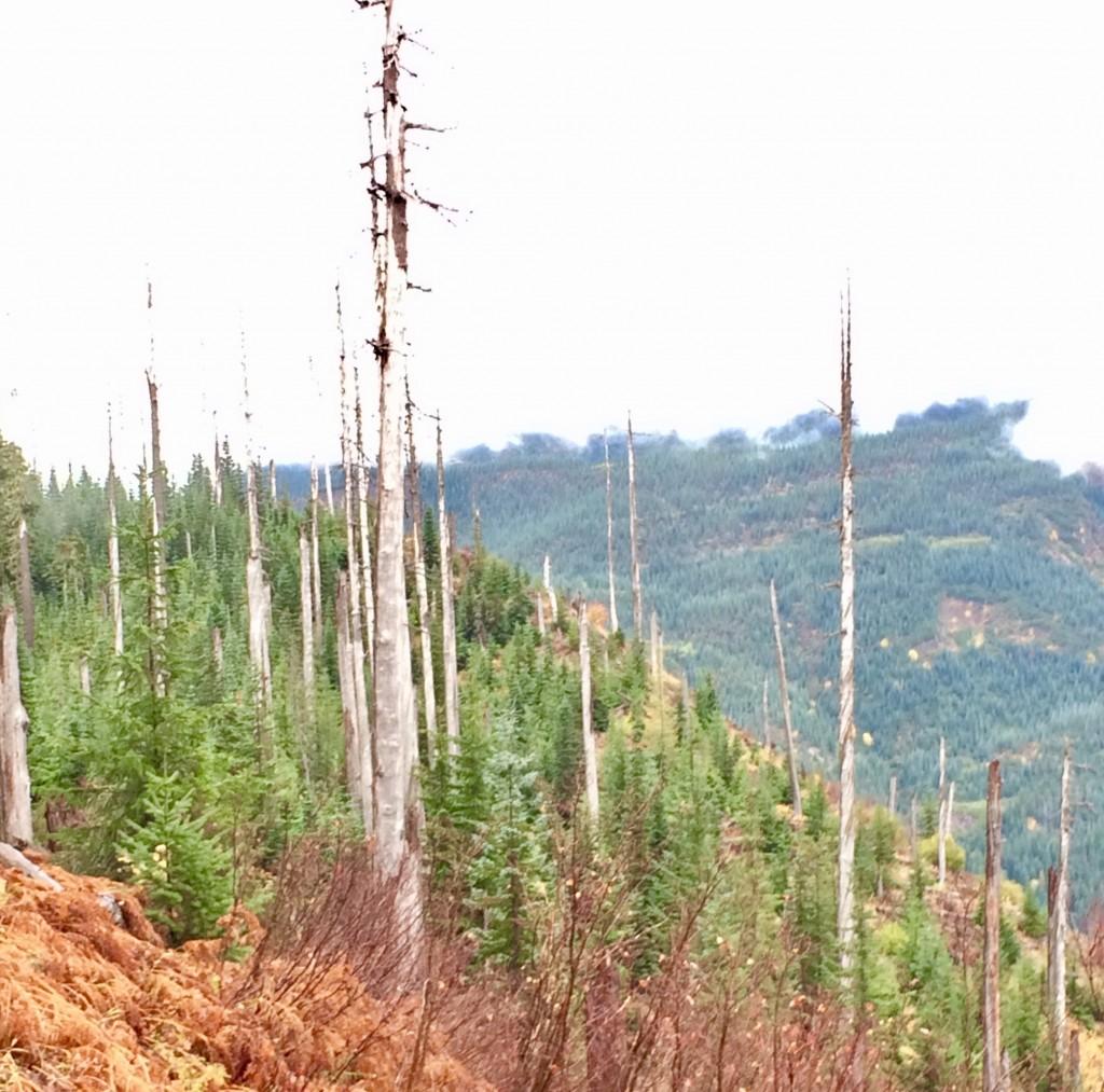 66マイル付近、1980年の大噴火の影響で立ち枯れた木々の合間から幼木が育っている。死んだと思われた自然も、きっかけがあれば回復へのサイクルが始まる。