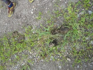 獣の足跡が 熊かと思い少し緊張しましたが、近所の馬らしいとのこと