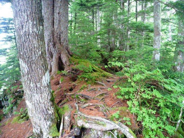 15.0km地点。張り出した根っこ。雨が降ればこれが滑る。