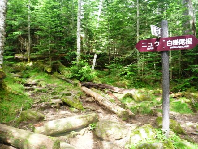 16.2km地点。コース最高地点。ニュウの山頂は踏まず、白樺尾根を下る。