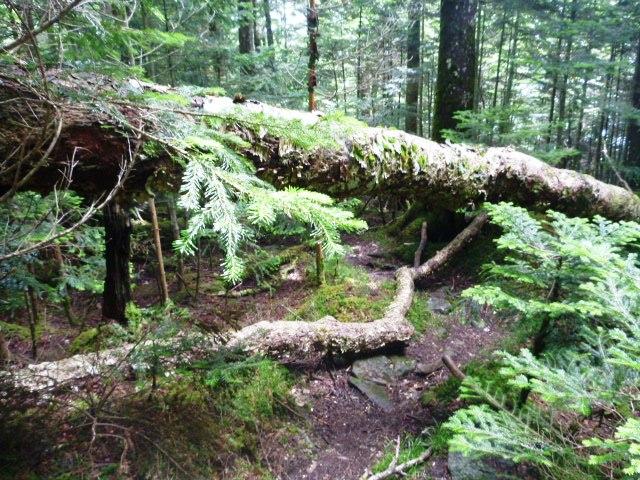 16.5km地点。白樺尾根の登山道をふさぐ大きな倒木。こういったのが増え始める。
