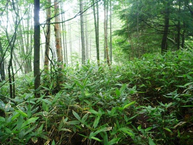 17.6km地点。胸までの笹の藪こぎ。かすかに登山道と分る程度。夜露のせいで胸から下はびっしょりに濡れる。