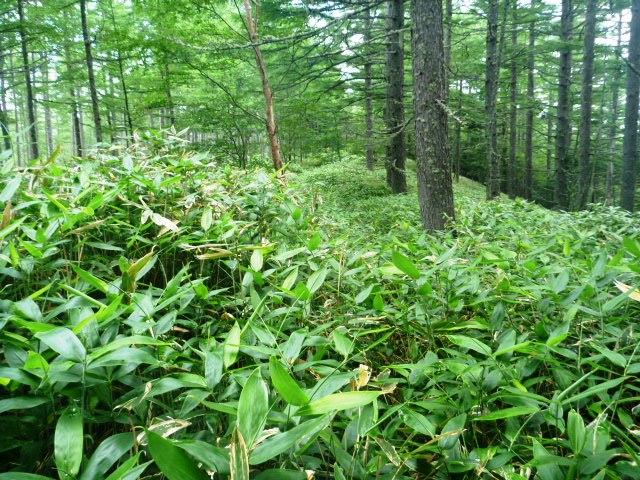 17.7km地点。笹藪は続く。大会時も笹藪はこのままだと思う。構わず走り抜けるべし。